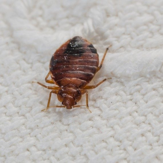 Bed Bugs, Pest Control in Longfield, Hartley, New Ash Green, DA3. Call Now! 020 8166 9746