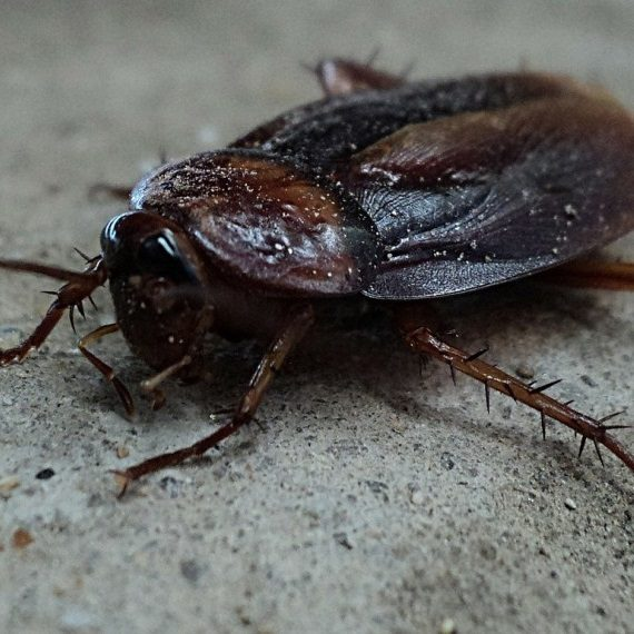 Cockroaches, Pest Control in Longfield, Hartley, New Ash Green, DA3. Call Now! 020 8166 9746