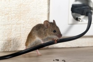 Mice Control, Pest Control in Longfield, Hartley, New Ash Green, DA3. Call Now 020 8166 9746