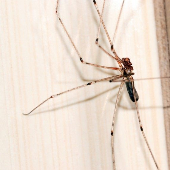 Spiders, Pest Control in Longfield, Hartley, New Ash Green, DA3. Call Now! 020 8166 9746