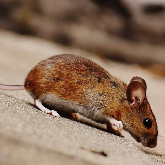 Mice, Pest Control in Longfield, Hartley, New Ash Green, DA3. Call Now! 020 8166 9746