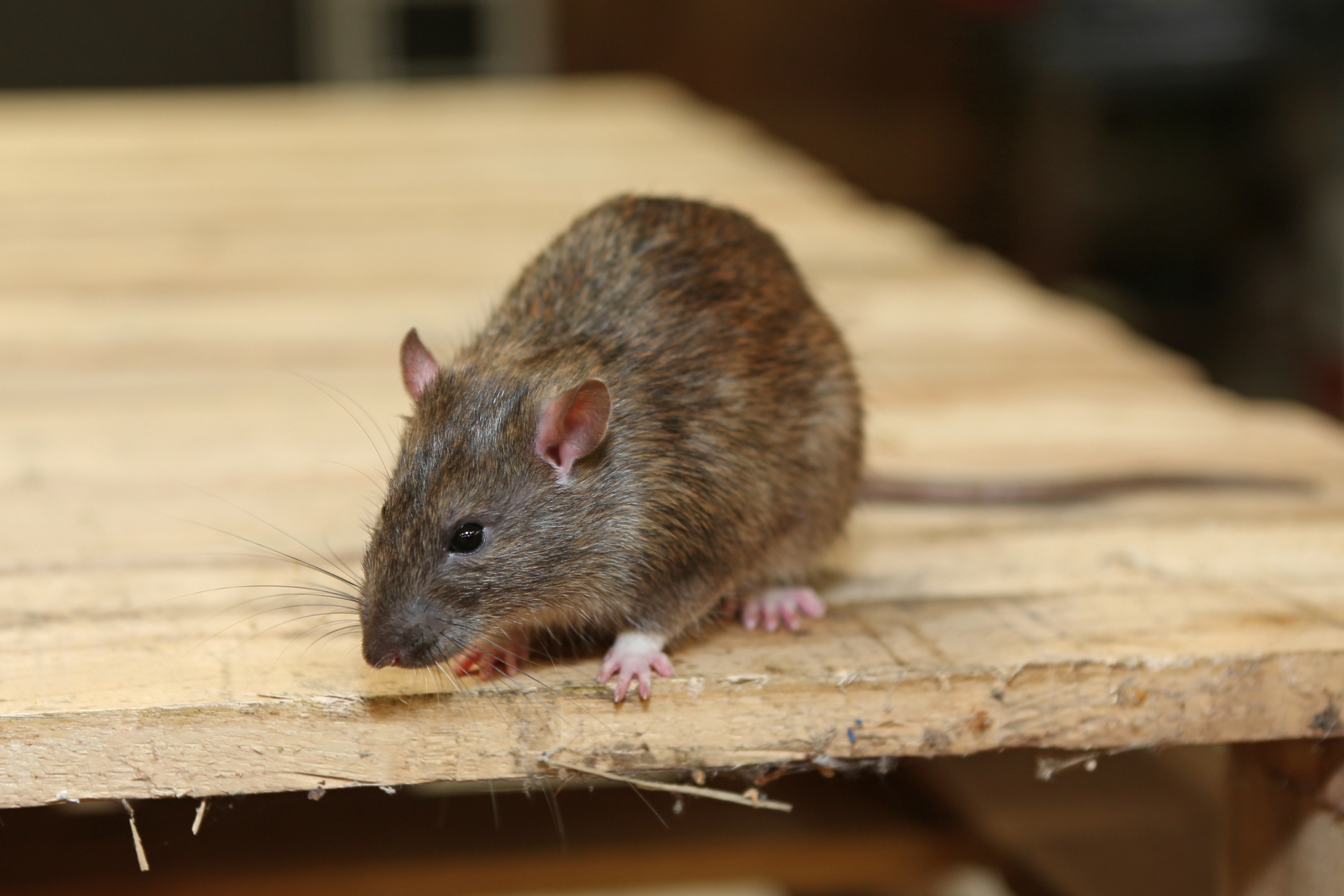 Rat Infestation, Pest Control in Longfield, Hartley, New Ash Green, DA3. Call Now 020 8166 9746