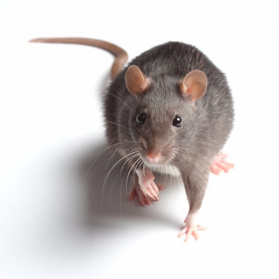 Rats, Pest Control in Longfield, Hartley, New Ash Green, DA3. Call Now! 020 8166 9746