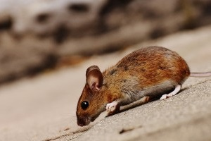 Mice Exterminator, Pest Control in Longfield, Hartley, New Ash Green, DA3. Call Now 020 8166 9746